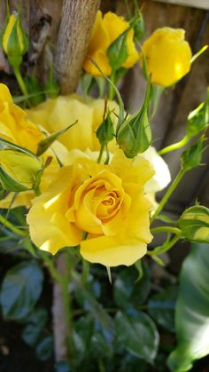 Yellow roses Photo by sandy Padilla Pastel Roses, Colorful Roses, Lavender Roses, Colorful Garden, Yellow Flowers, Spring Flowers, Red Roses, Fragrant Roses, Coming Up Roses