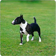Miniature Bull Terrier.