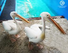 Meet our beautiful African Great White Pelicans, Ricky and Lucy. Did you know these pelicans played Rufus from Dolphin Tale? Come see them for yourself at the Clearwater Marine Aquarium!