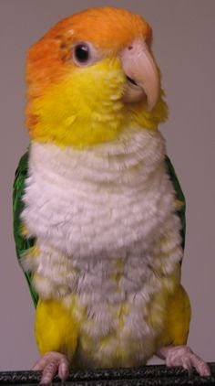 White Bellied Caique Parrot