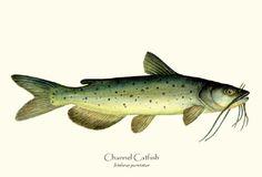 painting of fish- catfish | Channel Catfish fish print illustration Illustration