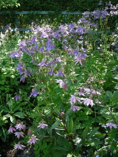 A drift of aquilegias with many different flower forms and colours