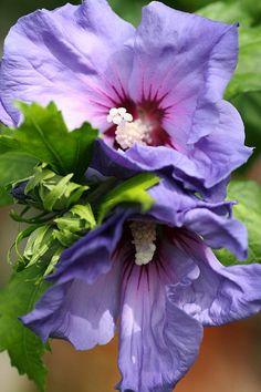blooming-inspiration:  hibiscus-purple-flowers.jpg on Flickr.