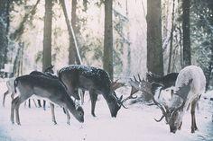 Damwild im Wildpark Landsberg am Lech. Hirsch Wald Schnee