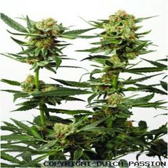 Orgeta indica je konopí se značnými léčivými účinky. kořeny tohoto konopného…