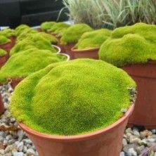 Scleranthus uniflorus ::: En pot sur la terrasse ::: -15°C