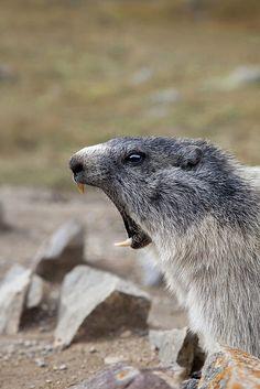 Marmot | by Raffaele Tasso