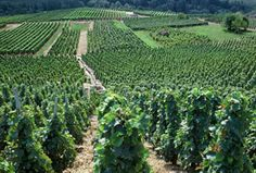 Vignes Vineyard, Outdoor, Trees And Shrubs, Mountains, Grape Vines, Outdoors, Outdoor Games, Outdoor Living