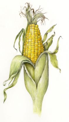 Corn. From the collection of fruit and vegetable illustrations by Wendy Hollender.