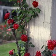 How to Make Roses Bloom with Banana and Coffee Grounds | eHow