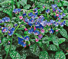 "Common Name: Lungwort, pulmonaria saccharata Mrs. Moon, Zone: 3-7 S / 3-9 W Height: 12"" among the most desirable perennials for leafy bowers or shady nooks. They are easy to grow in average to damp soil and require little maintenance Deer Resistant: Yes Exposure: Full or Part Shade Blooms In: April-May Spacing: 12-18"""