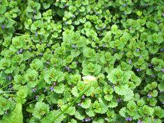 plantes-sauvages-lierre-terrestre