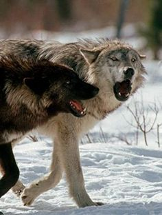 Here are two more articles about the recent decision to suspend a program that was aimed at reducing the wolf population in central Idaho by...