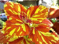 Coleus 'Copper Splash' by joeysplanting