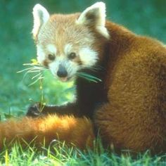 Red Panda :: Saint Louis Zoo (MO)