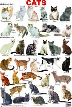 Cat breeds: information, characteristics and behavior - Cats - Katzen Types Of Cats Breeds, Best Cat Breeds, Cat Types, Kitten Breeds, Cute Cat Breeds, Black Cat Breeds, Beautiful Cat Breeds, Beautiful Cats, Animals Beautiful