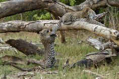 Botswana, impossibile dormire per mamma leopardo: così il cucciolo gioca con la sua coda
