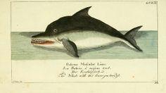 biologicalmarginalia:  Back in the days when Linnaean taxonomy...