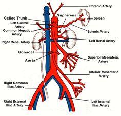 Abdominal arteries and veins