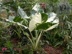 View Picture Of Variegated Upright Elephant Ear Giant Taro Wild Variegata Alocasia Macrorrhizos At Dave S Garden All Pictures Are Contributed By