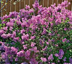 bloomerang Lilac - reblooming lilac.  Perhaps by hydrangea at back corner by porch.  Common Name: Lilac  Hardiness Zone:  4-7 S / 4-8 W  Height: 4-5'  Fragrance: Yes  Deer Resistant: Yes  Exposure: Full Sun  Blooms In: May-Sept  Spacing: 3-4'