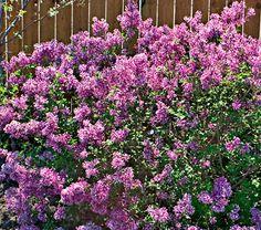 Syringa Bloomerang...a reblooming lilac!