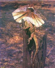 ящер с капюшоном