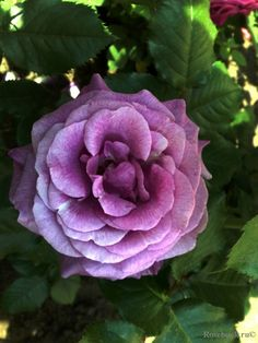 Grandiflora rose 'Violette Parfumee-Melodie Parfumee', Dorieux France 1995
