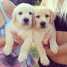 Labrador Retriever Pups ~ Classic Look Cute Puppies, Cute Dogs, Dogs And Puppies, Doggies, Baby Animals, Cute Animals, Yellow Lab Puppies, Dog Lady, Mans Best Friend