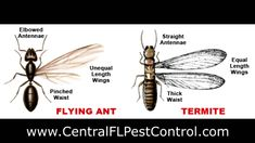 ASAP Pest Control - Difference Between Flying Ants And Termites