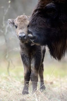 Bison calves are nursed for up to 8 months and are fully independent by 1 year of age.