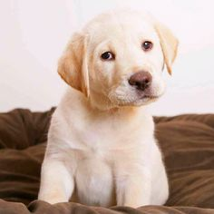 Yellow Labrador Retriever Labs