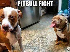 A cute pitbull fight