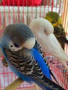 Cute Birds, Pretty Birds, Beautiful Birds, Budgie Parakeet, Budgies, Cockatiel, Animals And Pets, Baby Animals, Best Pet Birds