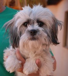 Vuitton was found abandoned at a Vegas TV station with no sign of responsible ownership (no ID tag, no microchip ID, not neutered).  He is an adorable, bashful Maltese & Shih-Tzu mix junior puppy, 10 months of age, now neutered and debuting for adoption today at Nevada SPCA (www.nevadaspca.org).  Vuitton pines for love and gets along very well with other sweet and playful dogs.  Please plan and budget for regular professional grooming care.