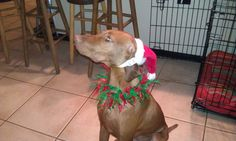 Wearing (albeit, not happily) her Christmas attire!