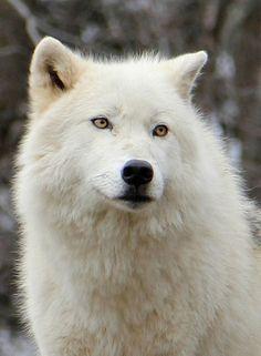 Arctic Wolf Quebec, QC, Canada