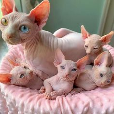 hairless cat My Daughter Researched That A Sphynx Is The Best Cat For Our Family And Although I Was Hesitant At First, She Was Right Cute Baby Cats, Cute Cats And Kittens, Cute Funny Animals, Cute Baby Animals, I Love Cats, Crazy Cats, Cool Cats, Kittens Cutest, Siamese Kittens