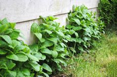 Mint: Repel fleas and ticks. They are invasive plants, plant them in pots that can be buried in the ground.