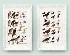 Vintage Bird Prints. Set of 2  Hawk & Buzzard Classifications. Encyclopedia Illustrations. 4x7 Educational Learning white brown bd1