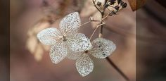 a lovely little Hydrangea from Japan  kleinwüchsige Hortensie sehr winterhart - Hydrangea serrata