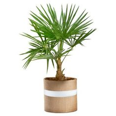 """Check out this item at One Kings Lane! 36"""" Windmill Palm Tree, Live"""