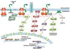 Journal News: JBC: TREM2 defects linked to neurodegeneration