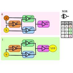 Arithmetic logic unit in a biological microprocessor: XOR gate