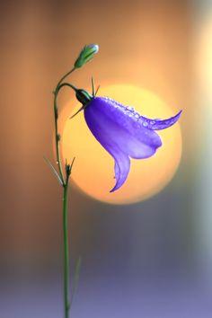 Campanula by Elena Andreeva - Photo 223337737 / Flowers Nature, Exotic Flowers, Amazing Flowers, Pretty Flowers, Wild Flowers, Flower Background Wallpaper, Flower Backgrounds, Beautiful Flowers Wallpapers, Pretty Wallpapers