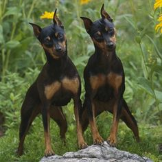 Min Pin dogs omg they are so cute..i have a female her name is Sasha!
