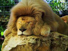 Zoo de Beauval - Lion 23
