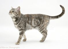 Tabby cat walking photo - WP18386