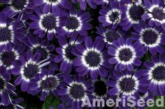 Cineraria is now generally treated as a genus of about 50 species of flowering plants in the family Asteraceae, native to southern Africa. The genus includes herbaceous plants and small subshrubs.  In the past, the genus was commonly viewed in a broader sense including a number of species from the Canary Islands and Madeira which are now transferred to the genus Pericallis, including the Florist's Cineraria (Pericallis x hybrida).