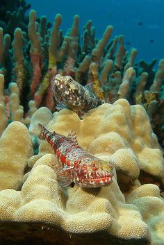 what looks to be stone fish residing in coral please correct if wrong Life Under The Sea, Under The Ocean, Sea And Ocean, Underwater Creatures, Underwater Life, Ocean Creatures, Fauna Marina, Salt Water Fish, Water Animals
